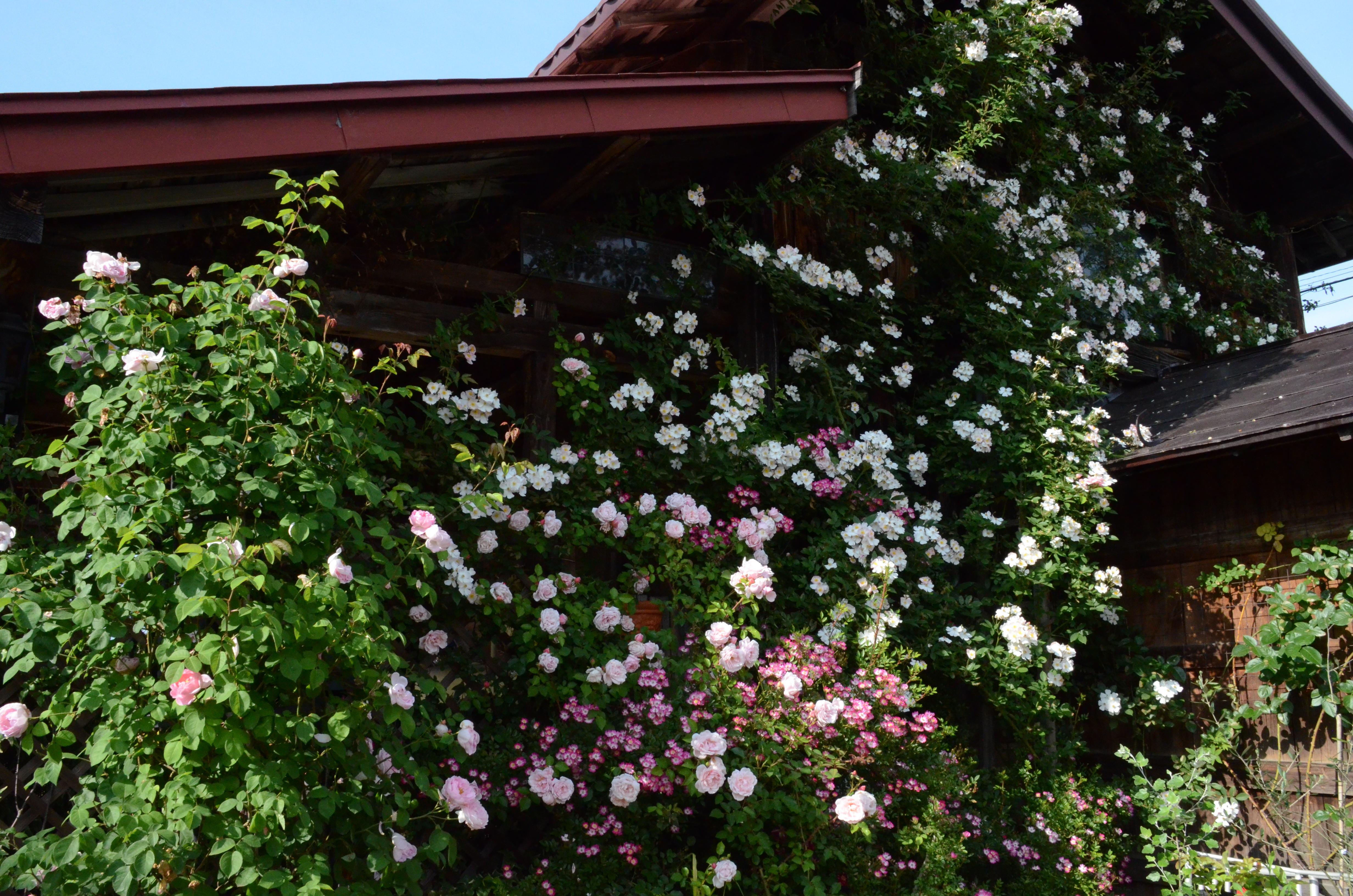 壁いちめん覆い尽くせり春の薔薇あるじが想いを語り咲きおり