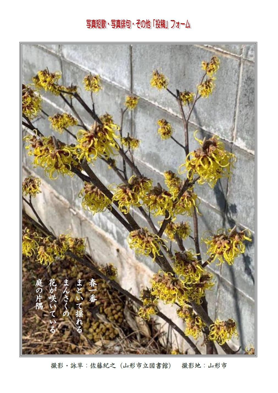 春一番まといて揺れるまんさくの花が咲いている庭の片隅