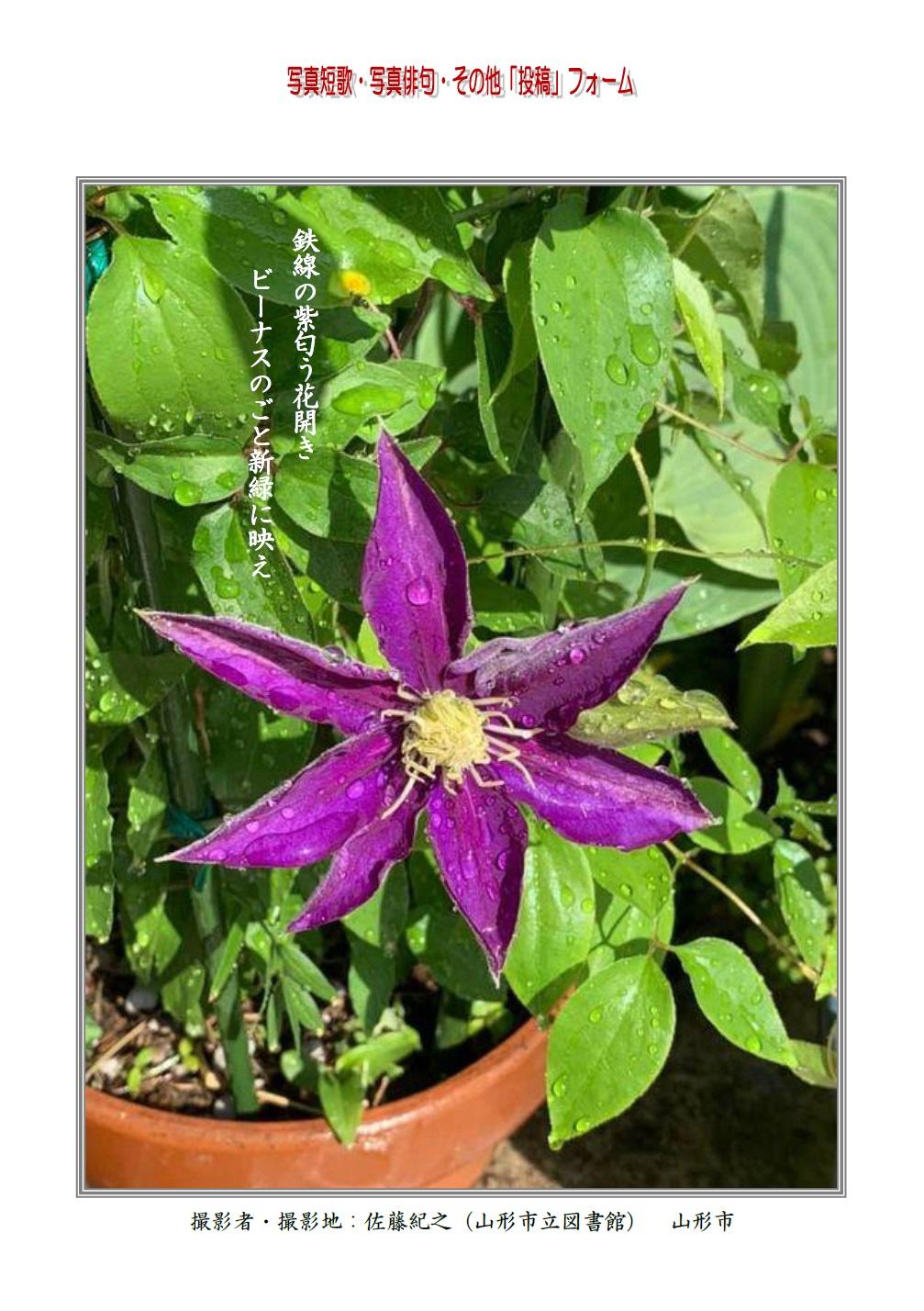鉄線の紫匂う花開きビーナスのごと新緑に映え