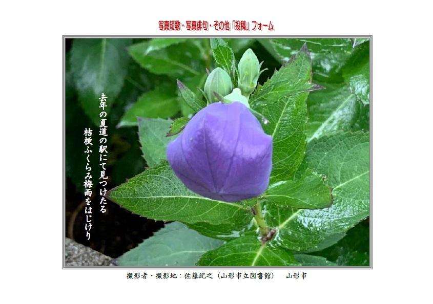 去年の夏道の駅にて見つけたる桔梗ふくらみ梅雨をはじけり